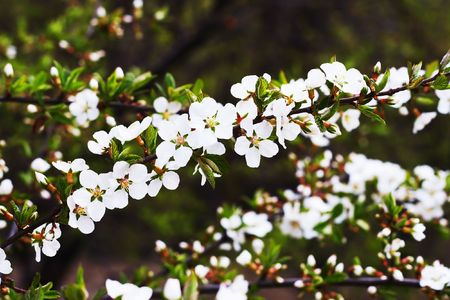 branches of cherry blossoms (sakura) representing the arrival of spring Stock Photo