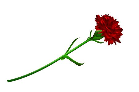 Red carnation flower isolated on white background. Simbol of Victory day 9 may.