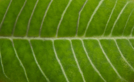 Texture of a juicy green leaf. Background of a plant