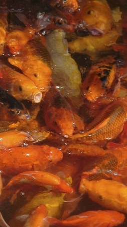 fengshui: koi fish in a pond, fengshui fish