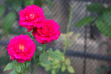Red roses in garden Stock Photo