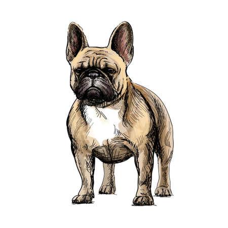 Beautiful french bulldog Illustration