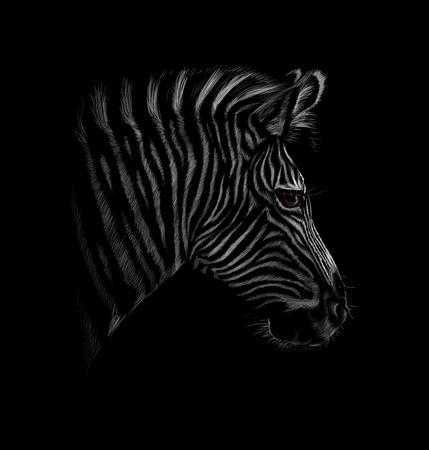 Portrait of a zebra head on a black background. Vector illustration Ilustração
