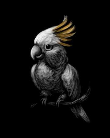 Sulphur-crested Cockatoo parrot, Cacatua galerita, with crest up in front on a black background. Vector illustration
