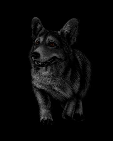 Portrait of Welsh Corgi on a black background