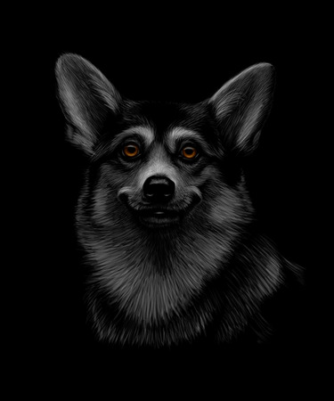 Portrait of a Welsh Corgi head on a black background.