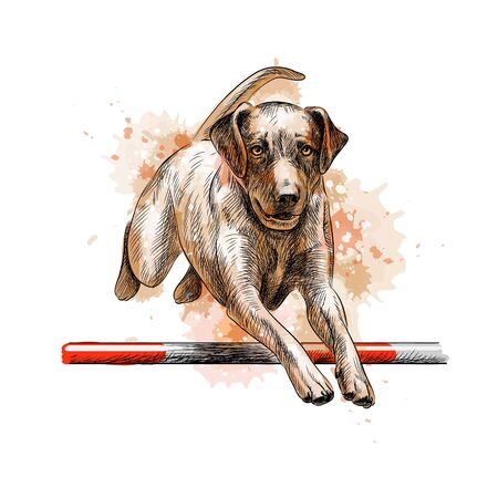 Labrador retriever jumping in a training of agility from a splash of watercolor, hand drawn sketch
