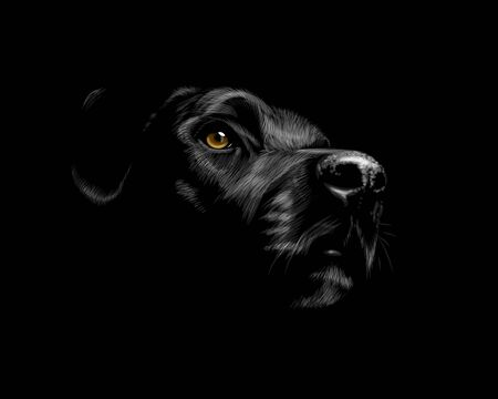 Head of a Labrador Retriever dog portrait on a black background