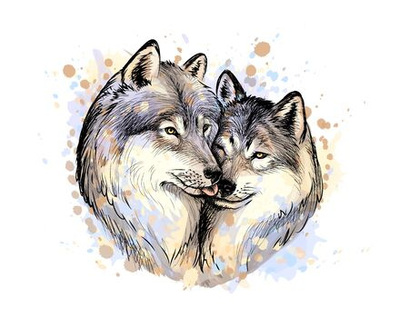 Portrait of wolves from a splash of watercolor, hand drawn sketch. Vector illustration of paints