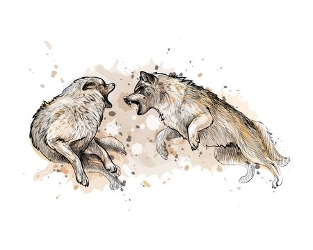 Wolf fight from a splash of watercolor, hand drawn sketch. Vector illustration of paints