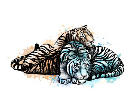 Two tigers yellow and white from a splash of watercolor, hand drawn sketch. Vector illustration of paints