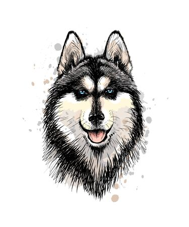 Portrait of the head of the Siberian Husky with blue eyes from a splash of watercolor, hand drawn sketch. Vector illustration of paints
