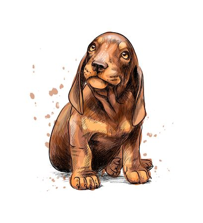 Dachshund puppy from a splash of watercolor, hand drawn sketch. Vector illustration of paints