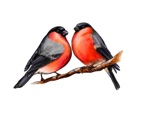 A pair of beautiful winter birds bullfinches on white background, hand drawn sketch. Vector illustration of paints
