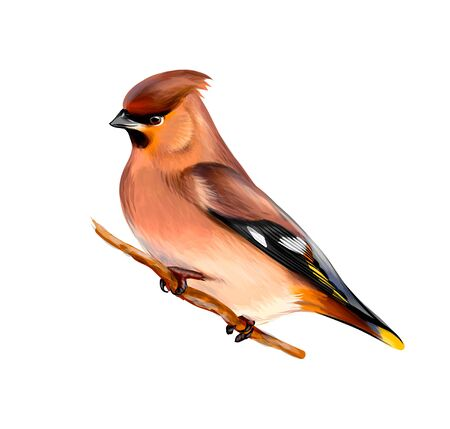 Portrait of a Waxwing bird sitting on a branch on white background, hand drawn sketch. Vector illustration of paints