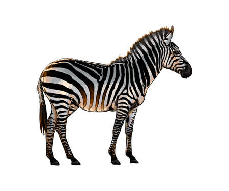 Zebra from a splash of watercolor, colored drawing, realistic