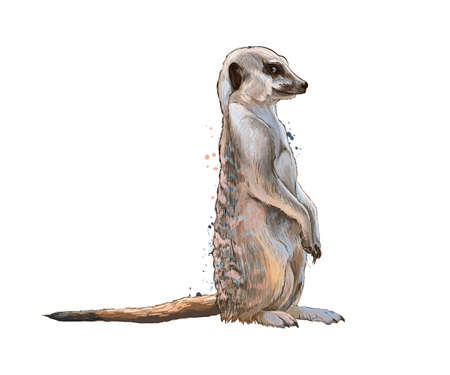 Meerkat from a splash of watercolor, colored drawing, realistic
