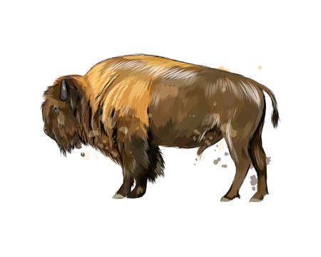 Bison, buffalo from a splash of watercolor, colored drawing, realistic