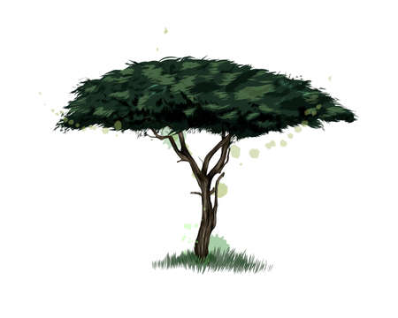 African acacia tree from a splash of watercolor, colored drawing, realistic