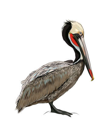 Pelican from a splash of watercolor, colored drawing, realistic