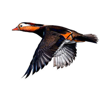 Mandarin duck from a splash of watercolor, colored drawing, realistic