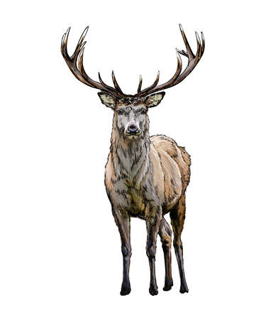 Red deer from a splash of watercolor, colored drawing, realistic Vecteurs