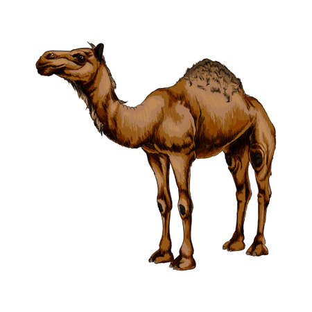 Arabian camel from a splash of watercolor, colored drawing, realistic