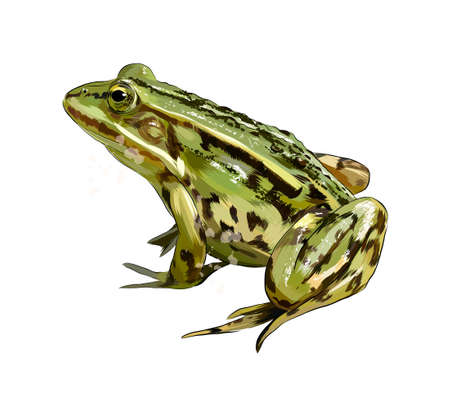 Green frog from a splash of watercolor, colored drawing, realistic