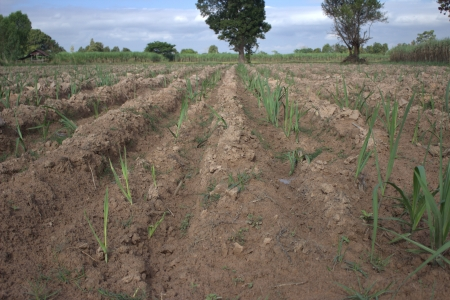 planted: Seedlings planted sugarcane  Agricultural areas  Stock Photo