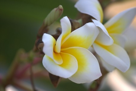 Frangipani flowers Mixed with white and yellow flowers