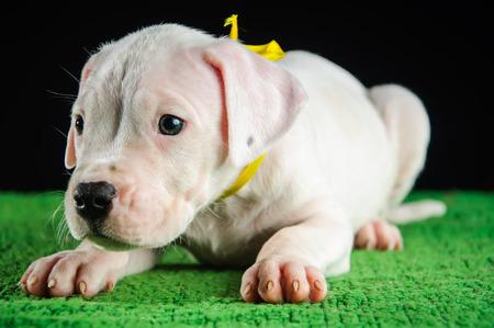Dogo Argentino puppy photo