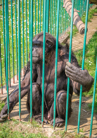 Chimp in thought, locked in a cage photo