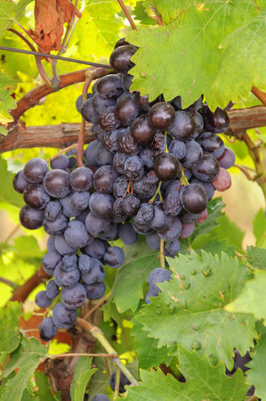 Ripe cabernet grapes ready for harvest photo