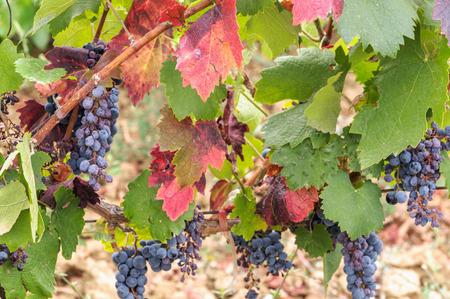 cabernet: Madura las uvas cabernet listo para la cosecha