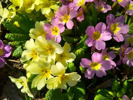 Colorful perennial primroses flowers in spring garden