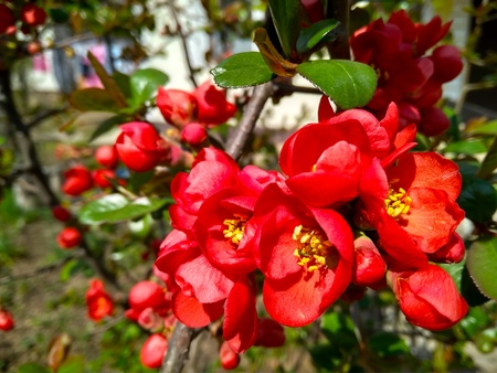 Red flowers and buds of chaenomeles in April