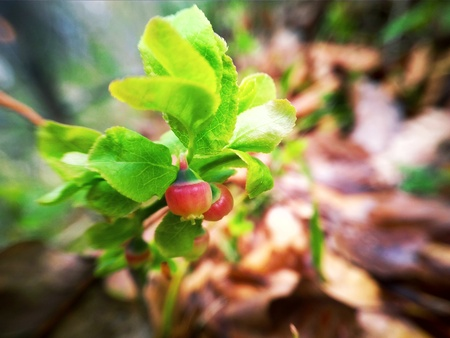 blueberry flower with leaves on a branch in the forest close up