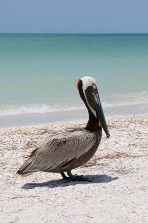 Brown pelican on Marco Island beach in Florida photo