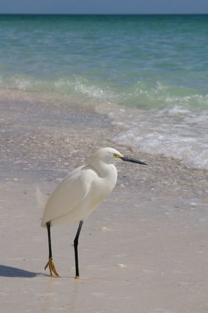 Snowy egret at Marco Island beach in Florida photo
