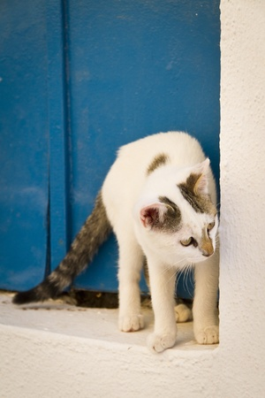 thira: Greek cat by a blue door, Thira, Santorini