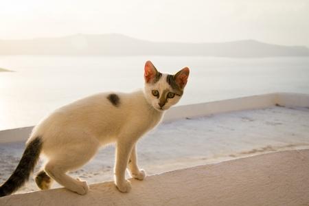 thira: Greek cat in Thira, Santorini