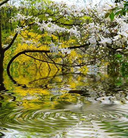 magnolia soulangeana:  Magnolia soulangeana blooming
