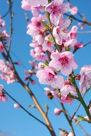 Apple Blossoms Stock Photo - 4732765