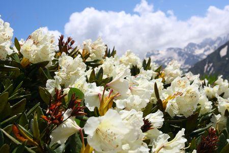 Flor de montaña en el Cáucaso Foto de archivo - 5575521