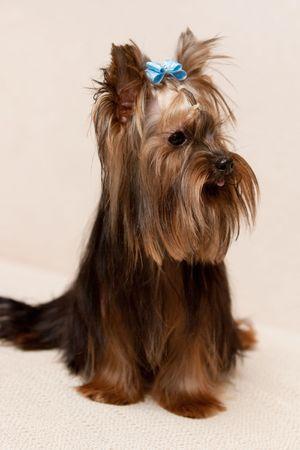 Yorkshire Terrier Stock Photo - 5975381