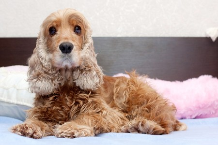 Cocker spaniel Stock Photo - 6913802