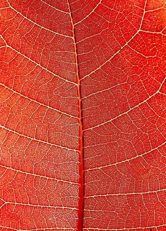 aural: red leaf