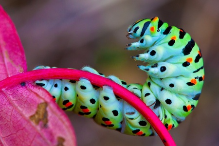 caterpillar worm: Colorful caterpillar on the red leaf Stock Photo