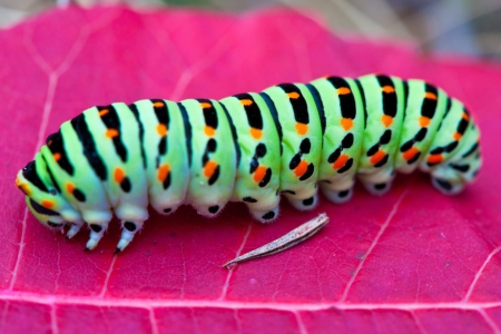 caterpillar: Colorful caterpillar on the red leaf Stock Photo