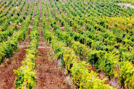 wineyard: Wineyard in Crimea mountains Stock Photo